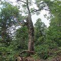 白神山地のマザーツリーを見に行きました