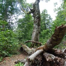 白神山地折れたマザーツリーの残骸
