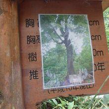 白神山地折れる前のマザーツリー