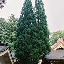 白山比咩神社 御神木 (三本杉)