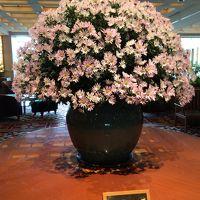 素晴らしい!西洋菊