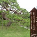 小石川後楽園 一つ松