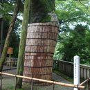 白山比咩神社 大ケヤキ