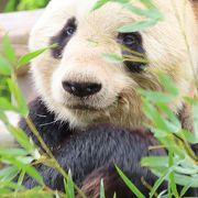 日本最大のジャイアントパンダファミリーを展示している動物公園