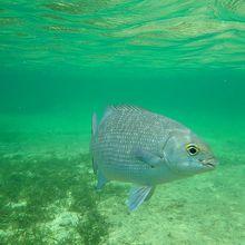 浅い場所でも結構大きな魚がいます。