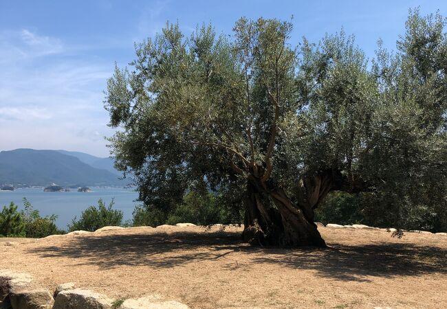 1万キロのうみを渡ってやって来た樹齢千年のオリーブの大樹
