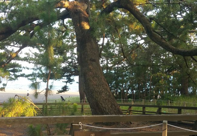 立派な松の木