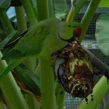 バナナの花をついばむインコ
