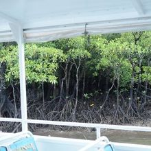観光船からマングローブがよく見えました。