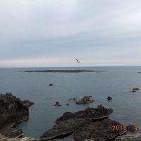入道崎の海にゴメがスイスイと