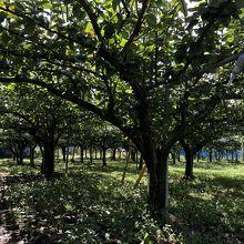 果樹園の中