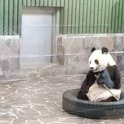 ジャイアントパンダを見に行く