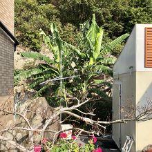 OYO旅館つり幸、庭にバナナが植えられていた。
