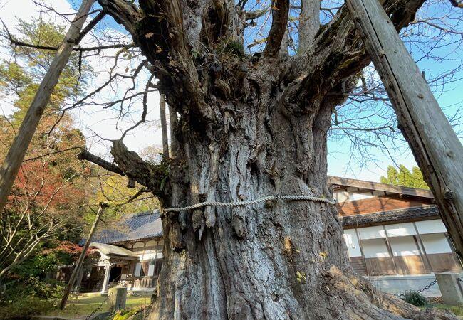 上日寺のイチョウ