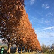 新・日本の街路樹百景に設定!約2.4km続くオレンジ色の並木道