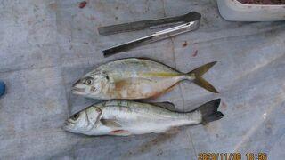 桟橋の10月アイゴの群れ11月も12月ギンガメアジ