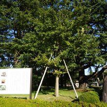 なんじゃもんじゃの木 (ヒトツバタゴ)