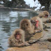 猿が温泉につかっていました