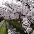こんな静かな哲学の道の桜鑑賞は一生に一度かと。