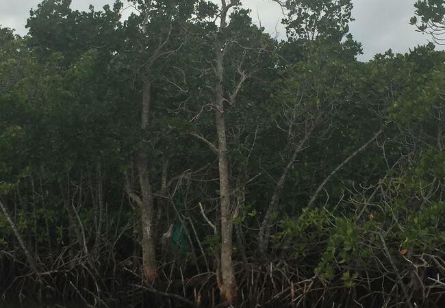 マングローブを見ることができます。