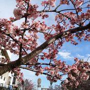 早咲きの桜を眺めながら散策