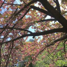 満開を少し過ぎた桜