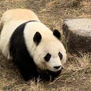 パンダ 〈タンタン〉に会いに