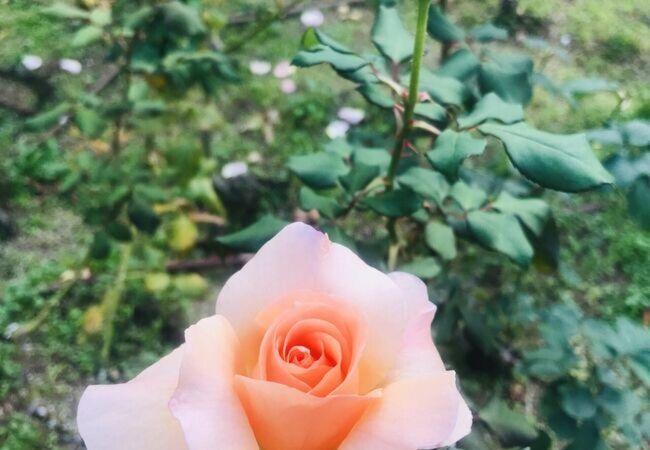 11月下旬のバラ