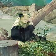 パンダに会えます。