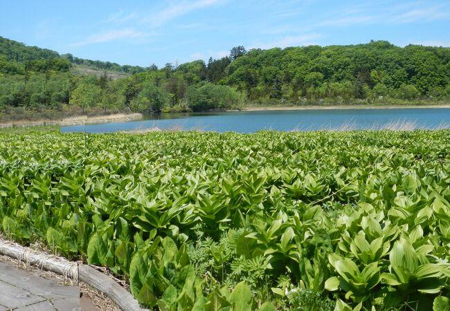 八幡平アスピーテラインの途中(標高944m)にあり、八幡平の中で最も大きな沼です。