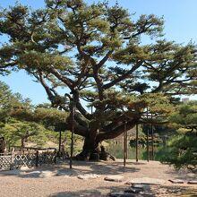 栗林公園の五葉松