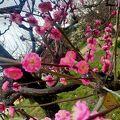 早咲きの梅が色とりどり