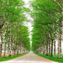 十勝牧場 白樺並木