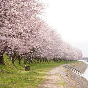 田布施川沿いに植えられた約300本の桜が咲き誇る
