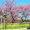 小松ヶ池公園の河津桜(2021/2)
