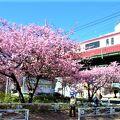 `桜まつり`は初めて中止、でも 桜は満開(2021/2)