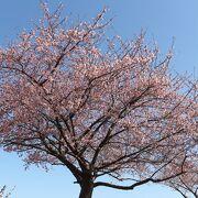 一番上の河津桜はほぼ見頃、ほかは来週見頃かと思います