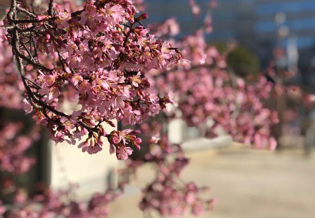 河津桜がとても綺麗に咲いていました。