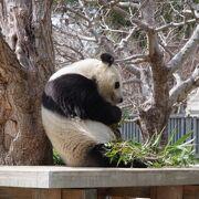 パンダ返還が近づき特別体制