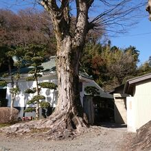 酒蔵入口の欅の大木