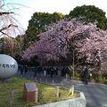 早咲きの桜が咲いていました