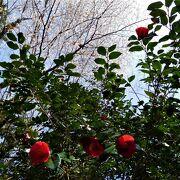 椿まつりに行きました。1本桜が満開でした。
