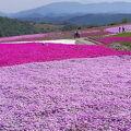 茶臼山芝桜の丘