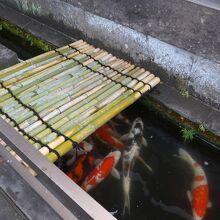 お店の外の濠には鯉が泳いでいます