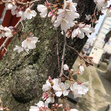 色の薄い桜