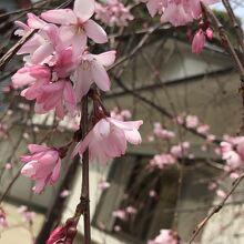 色が濃い桜