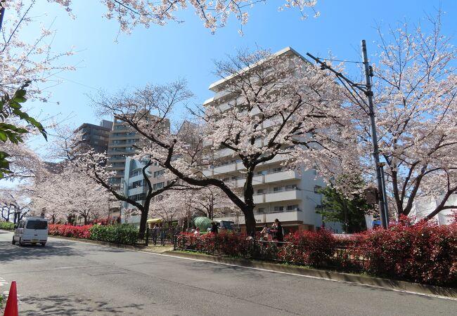 少し桜の木を伐採したみたいですがきれいな桜並木は健在