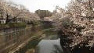神田川沿いや目黒川沿いの桜の名所にも負けていません