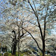 綺麗な桜並木