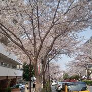 文京区一番のお花見場所。車で一周するだけでも見られます。